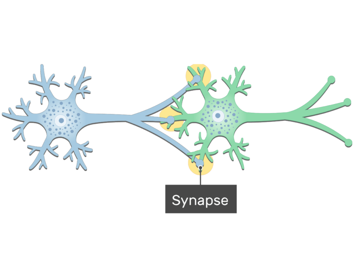 An image showing the synapse between 2 neurons (presynaptic and postsynaptic neurons) showing the basic structures, the synapse is labeled