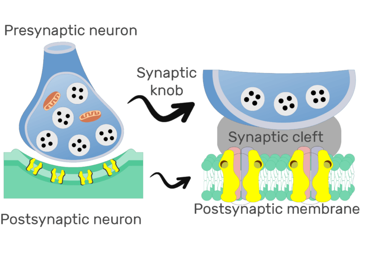 An image showing the synaptic cleft (which is labeled) of a chemical synapse, the image contains synaptic knob and post synaptic membrane which is expaned