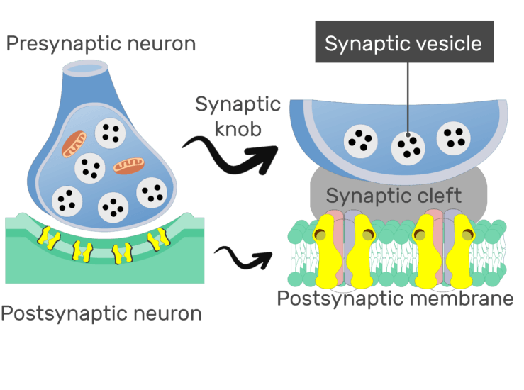 An image showing the synaptic vesicle (labeled) of a presynaptic neuron, the image contains synaptic knob and post synaptic membrane which is expaned