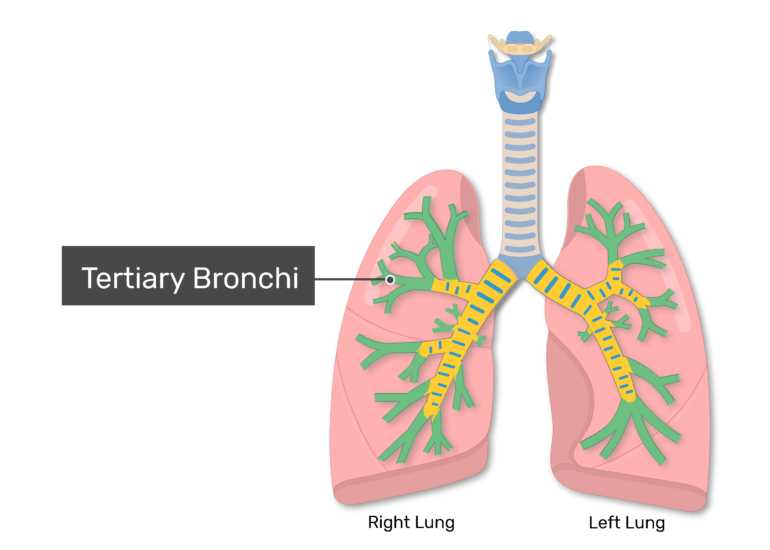 The tertiary bronchi labeled