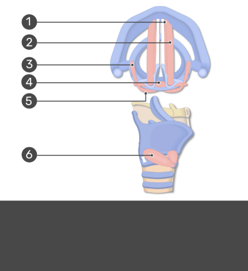 Test Yourself on Larynx Wall with answers hidden