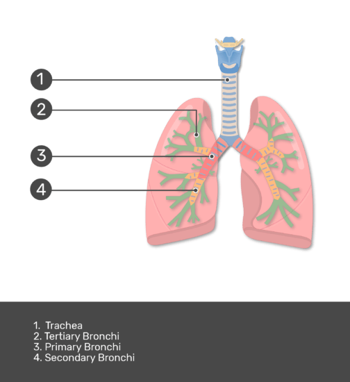 Test yourself on Bronchial Tubes with answers shown
