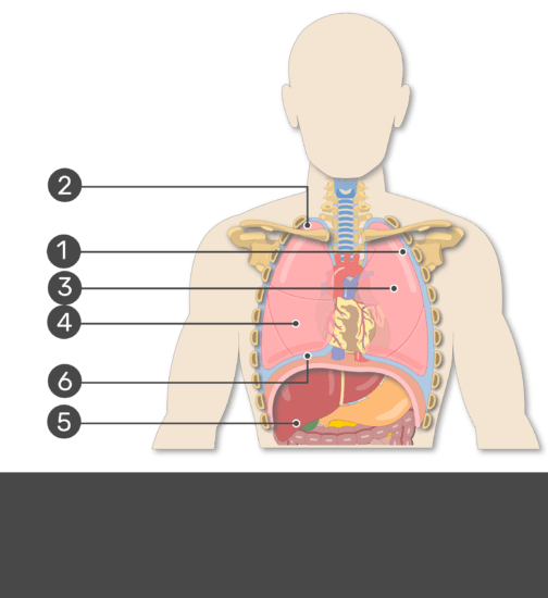 Test Yourself on Shapes and Surfaces of the Lungs with Answers Hidden