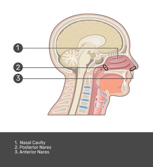 Test Yourself on Introduction to the Nose and Nasal Cavity with answers shown