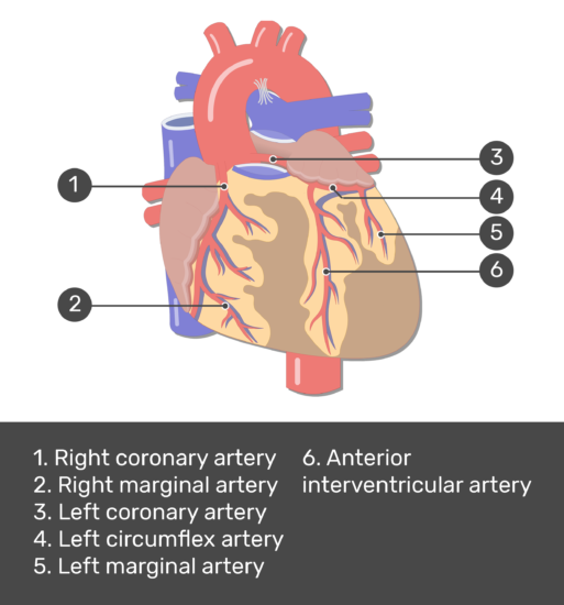 Test yourself image for the anterior view of the coronal arteries of the heart with answers shown: right coronary artery, right marginal artery, left coronary artery, left circumflex artery, left marginal artery, anterior interventricular artery.
