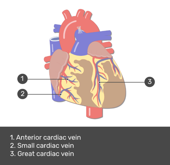 Test yourself image for the anterior view of the cardiac veins of the heart with answers shown: Anterior cardiac vein, small cardiac vein, and great cardiac vein.