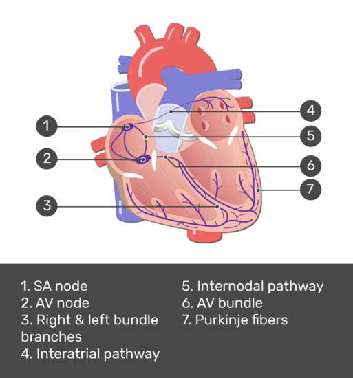 Test yourself image for the electrical conduction system with answers shown: SA node, AV node, right and left bundle branches, interatrial pathway, internodal pathway, AV bundle, Purkinje fibers.