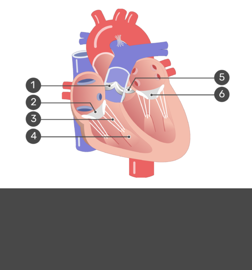 Test yourself image for the interior view of the heart valves with answers hidden