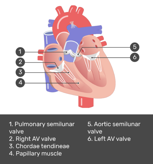 Test yourself image for the interior view of the heart valves with answers shown: pulmonary semilunar valve, right av valve, chordae tindinae, papillary muscle, aortic valve, left av valve.
