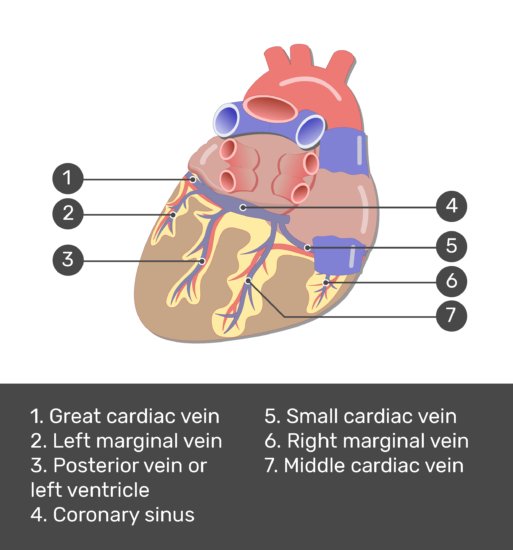 Test yourself image of the posterior view of the coronary veins of the heart with answers shown: Great cardiac vein, left marginal vein, posterior vein of left ventricle, coronary sinus, small cardiac vein, right marginal vein, muddle cardiac vein.