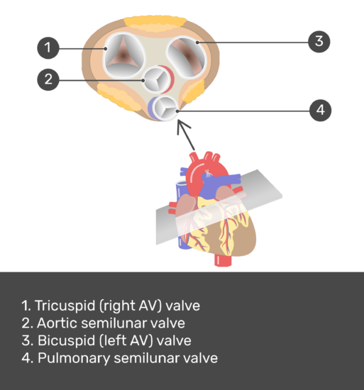 Test yourself image for the superior view of the heart valves with answers shown: tricuspid valve (right AV) valve, aortic semilunar valve, bicuspid (left AV valve, pulmonary semilunar valve.