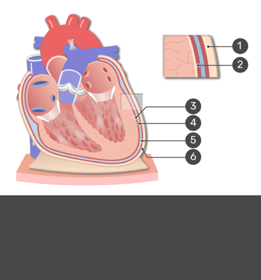 Test yourself image of the pericardium with answers hidden