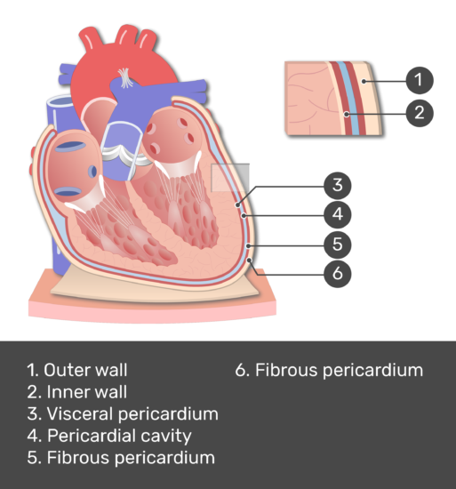 Test yourself image of the pericardium with answers shown: Outer wall, inner wall, fibrous pericardium, parietal pericardium, visceral pericardium, pericardial cavity.