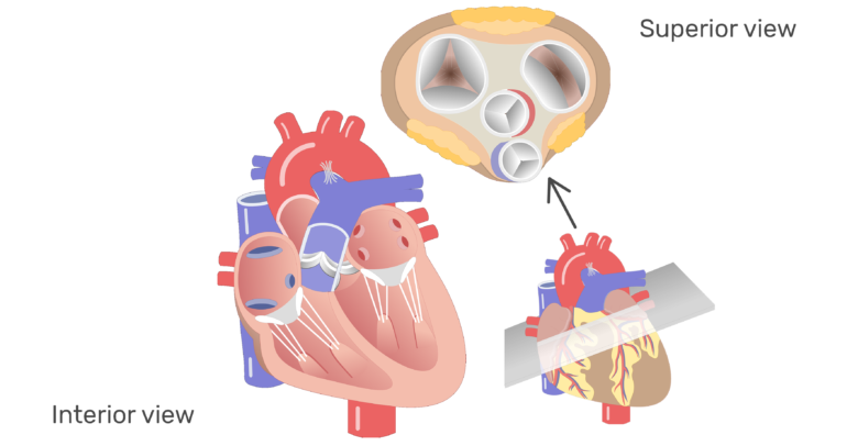 The four valves of the heart animation slide 1