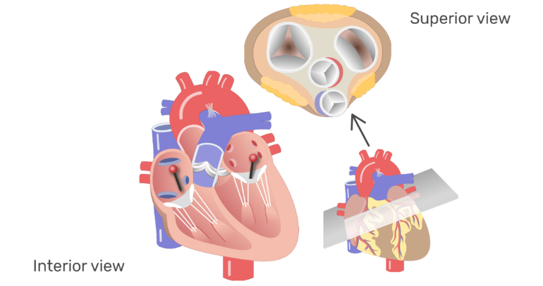 The four valves of the heart animation slide 4