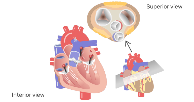 The four valves of the heart animation slide 6