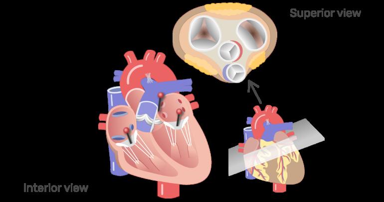 The four valves of the heart animation slide 6