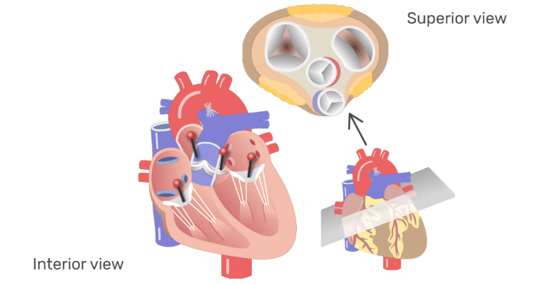 The four valves of the heart animation slide 9