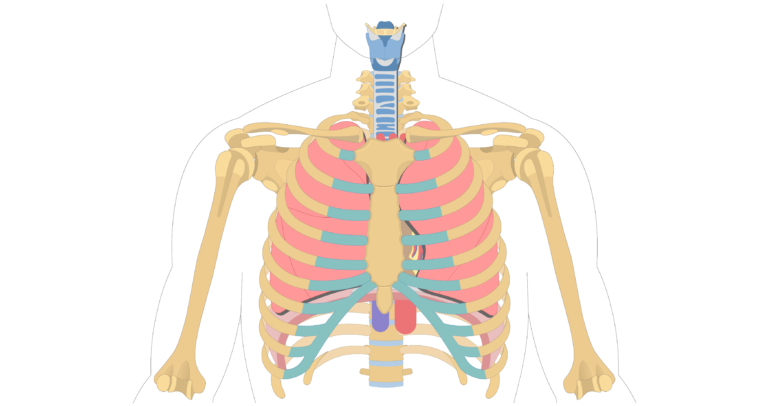 The location size and shape of the heart getbodysmart unlabelled image of the anterior view of the sternum and ribs ccuart Gallery