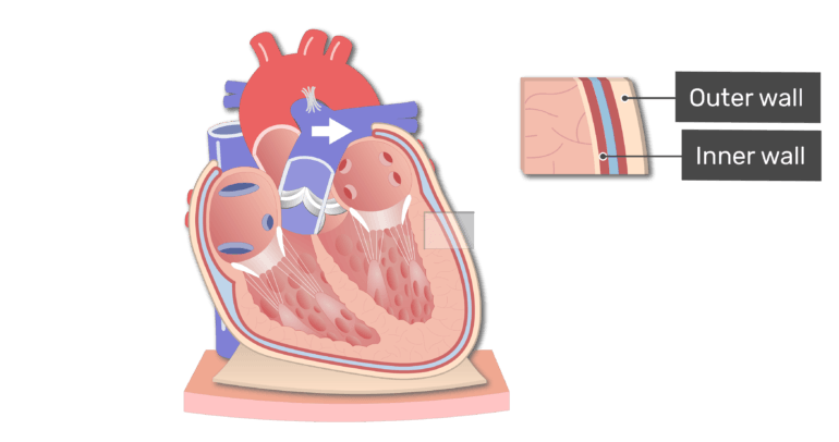 The parietal pericardium animation slide 1