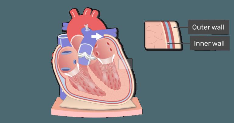 The parietal pericardium animation slide 3