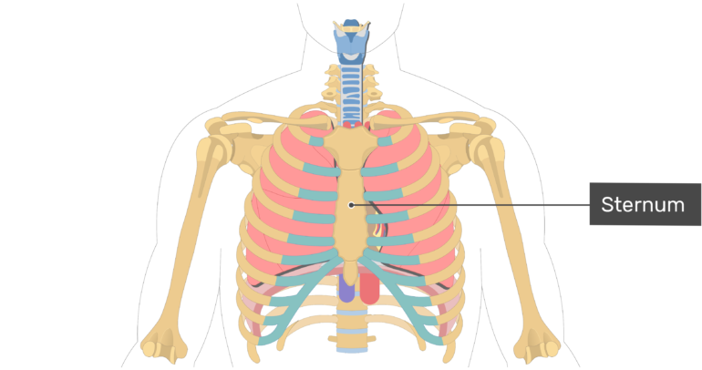 Lablled image of the sternum.