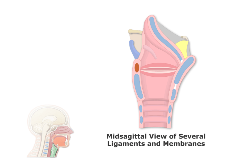A midsagittal view of the ligaments and membrane