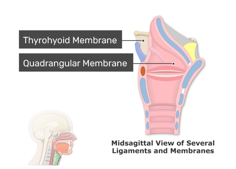 A midsagittal view of the ligaments and membranes labeled: Thyrohyoid and quadrangular membrane