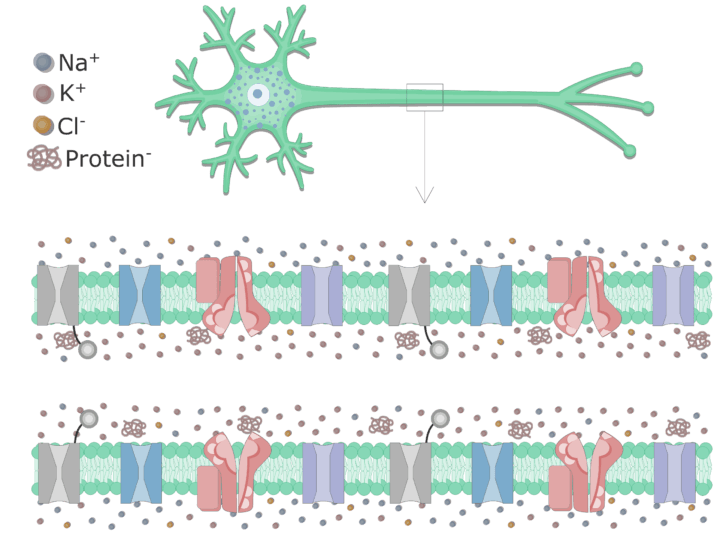 An image showing the cell membrane of an axon enlarged, the membrane contains all types of channels and transporters