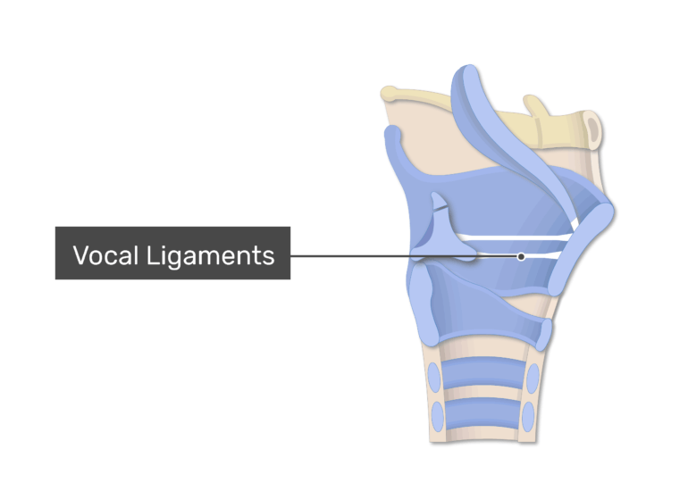 The vocal ligaments on sagittal view