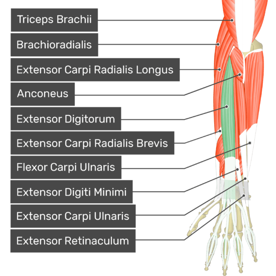 A posterior view of the forearm showing the bony elements and the deeper muscles. The visible, labelled muscles are as follows: Triceps Brachii, Brachioradialis, Extensor Carpi Radialis Longus, Anconeus, Extensor Digitorum (highlighted in green), Extensor Carpi Radialis Brevis, Flexor Carpi Ulnaris, Extensor Digiti Minimi, Extensor Carpi Ulnaris and Extensor Retinaculum.