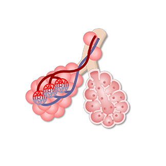 Alveolar Sacs