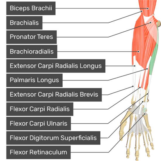 An anterior view of the forearm showing the bony elements and the associated muscles muscles. The visible, labelled muscles are as follows: Biceps Brachii, Brachialis, Pronator Teres, Brachioradialis, Extensor Carpi Radialis Longus, Palmaris Longus, Extensor Carpi Radialis Brevis, Flexor Carpi Radialis, Flexor Carpi Ulnaris (highlighted in green), Flexor Digitorum Superficialis and a transverse carpal ligament at the wrist - Flexor Retinaculum - going over the tendons of most forearm muscles.