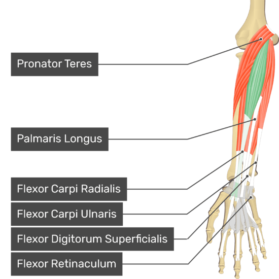 An anterior view of the forearm showing the bony elements and the deeper muscles. The visible, labelled muscles are as follows: Pronator Teres, Palmaris Longus, Flexor Carpi Radialis (highlighted in green), Flexor Carpi Ulnaris, Flexor Digitorum Superficialis and a transverse carpal ligament at the wrist - Flexor Retinaculum - going over the tendons of most forearm muscles.