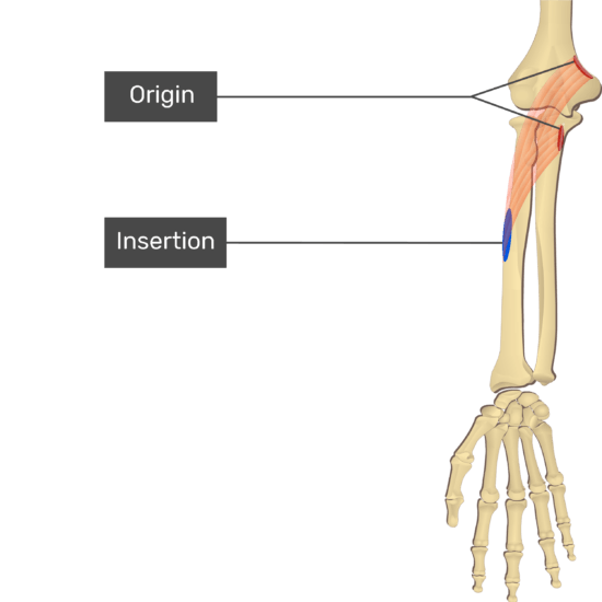 An anterior view of the forearm showing the bony elements and the attachment of the Pronator Teres muscle. Origin of the humeral head at the medial epicondyle of the humerus and the distal supracondylar ridge and of the ulnar head at the medial side of coronoid process of ulna are marked by red ovals. The insertion at the middle of lateral surface of the radius is marked by a blue oval. Transparent Pronator Teres muscle connects the two attachment sites.