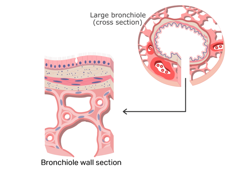 A zoomed in perspective of the bronchiole wall
