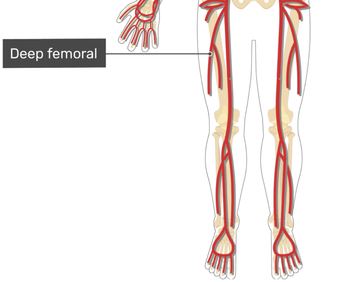Labelled image of the deep femoral artery of the thigh.