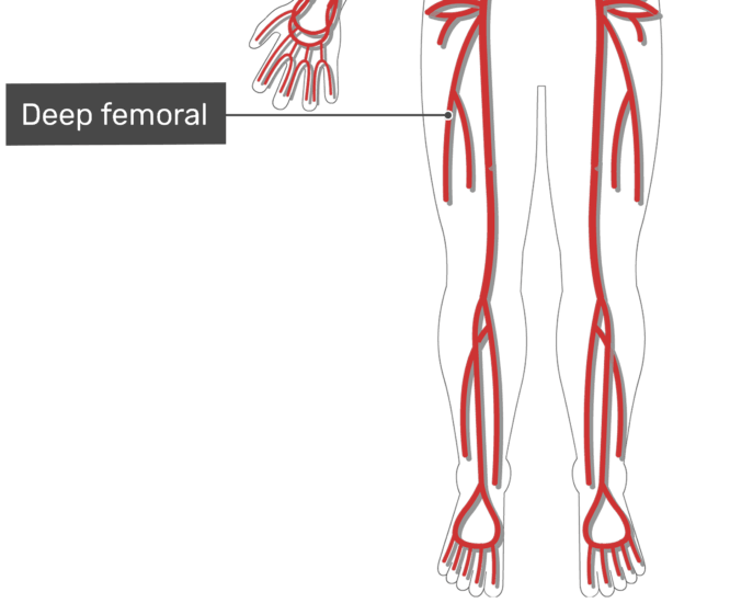 Labelled image of the deep femoral artery of the thigh with the skeleton hidden.