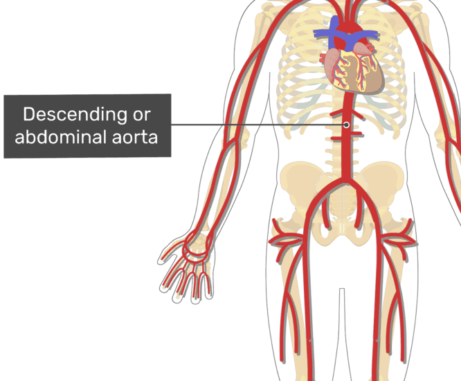 Labelled image of the descending aorta artery of the abdomen.
