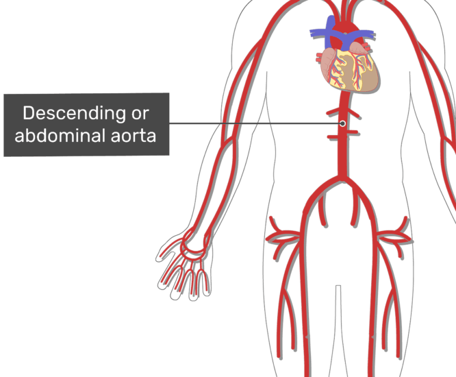 Labelled image of the descending aorta artery of the abdomen with the skeleton hidden.