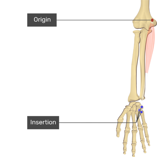 An anterior view of the forearm showing the bony elements and the attachment of the Flexor Carpi Ulnaris muscle. Origin at the medial epicondyle of humerus is marked by a red oval. The insertions at the pisiform, hook of hamate, and base of 5th metacarpal are marked by blue circles. Transparent Flexor Carpi Ulnaris muscle connects the attachment sites.