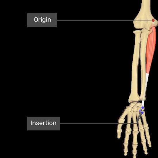 flexor carpi ulnaris