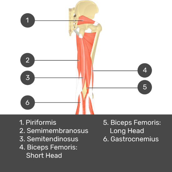 Test yourself image 10, posterior view of thigh and gluteal region. Muscles labelled- piriformis, semimembranosus, semitendinosus, biceps femoris: short head, biceps femoris: long head, gastrocnemius.