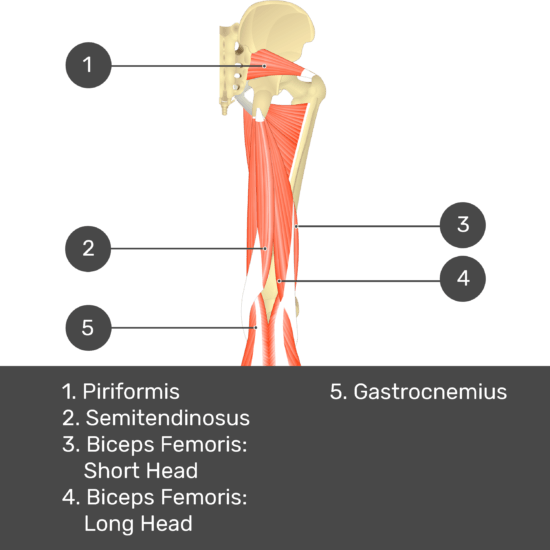 Test yourself image 11, posterior view of thigh and gluteal region. Muscles labelled- piriformis, gracilis, semitendinosus, biceps femoris: short head, biceps femoris: long head, gastrocnemius.