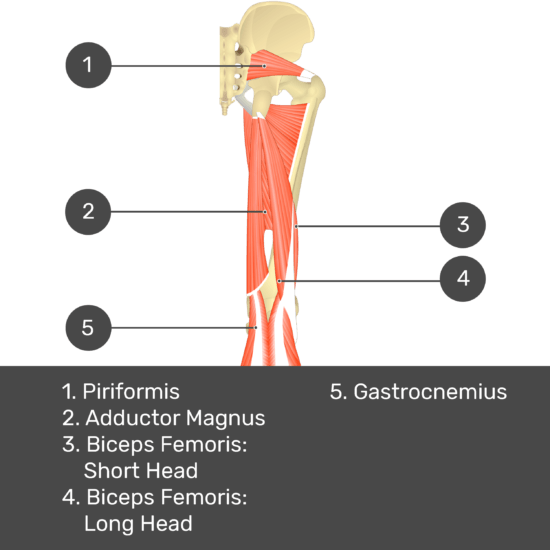 Test yourself image 12, posterior view of thigh and gluteal region. Muscles labelled- piriformis, adductor magnus, biceps femoris: short head, biceps femoris: long head, gastrocnemius.