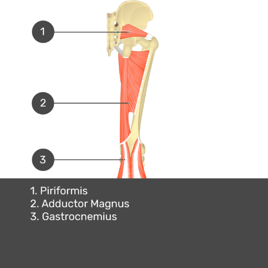 Test yourself image 13, posterior view of thigh and gluteal region. Muscles labelled- piriformis, adductor magnus, gastrocnemius.