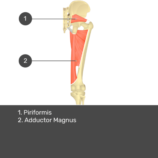 Test yourself image 14, posterior view of thigh and gluteal region. Muscles labelled- piriformis, adductor magnus.