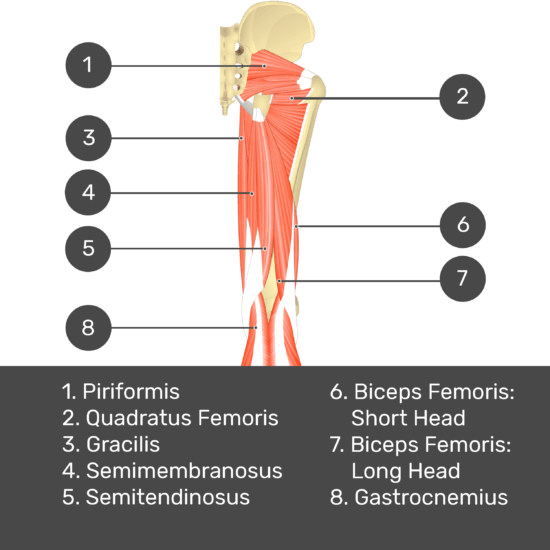 Test yourself image 8, posterior view of thigh and gluteal region, lateral rotators of the thigh visible. Muscles labelled- piriformis, quadratus femoris, gracilis, semimembranosus, semitendinosus, biceps femoris: short head, biceps femoris: long head, gastrocnemius.