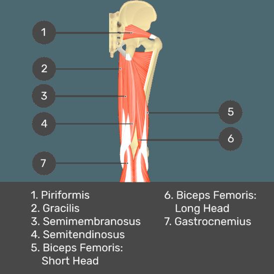 Test yourself image 9, posterior view of thigh and gluteal region. Muscles labelled- piriformis, gracilis, semimembranosus, semitendinosus, biceps femoris: short head, biceps femoris: long head, gastrocnemius.