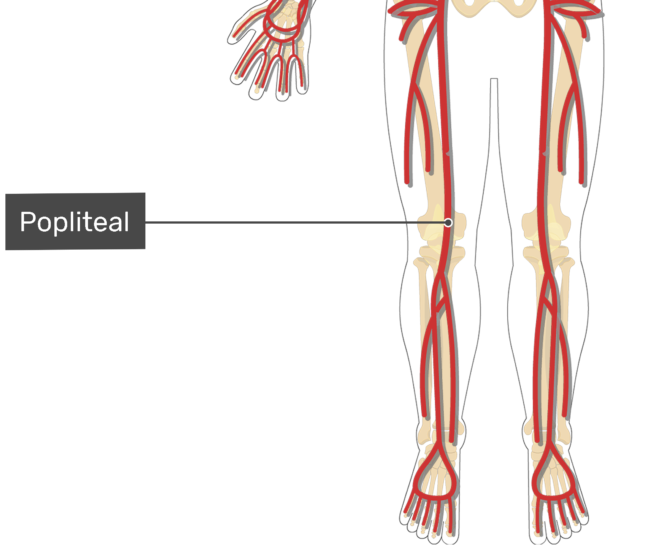 Labelled image of the popliteal artery of the thigh.